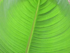 lpyv15.leaf