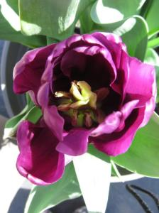 MP Tesslar tulip (1)