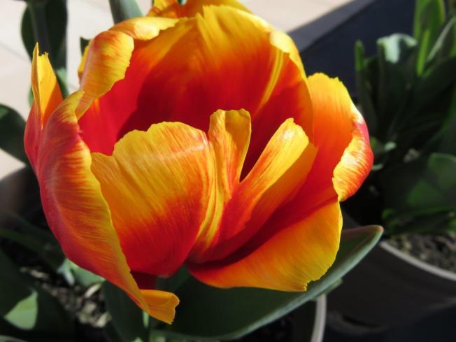 MP Tesslar tulip (2)